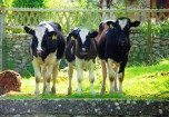 We 3 Calves........