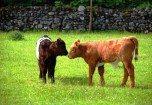 Kissing Calves