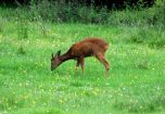 Red Deer in the Meadow next to the garden