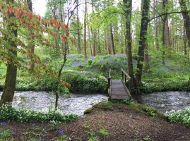 Bluebells in Cartmel woods by the stream