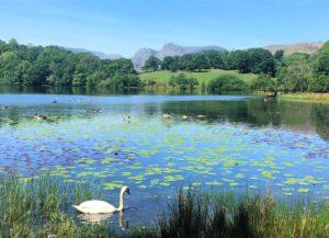Swan on Loughrigg Tarn