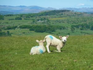 Lambs in the Cartmel Valley