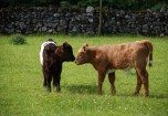 2 calves kissing in a Lake District field