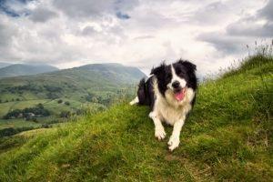 Border collie dog on the Lake District fells