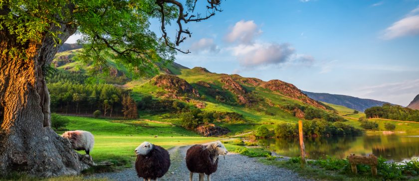Two Herwick Sheep on a Lake District Track