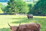 Highland Cattle in the field next to Cartmel Hill